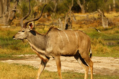 African Greater Kudu Bull. The male Greater Kudu tend to be much larger than the females & vocalize more Stock Photo