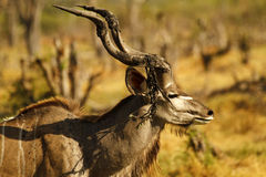 African Greater Kudu Bull Stock Photos