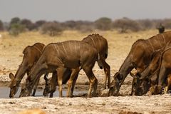 African Greater Kudu Herd Drinking At A Waterhole Royalty Free Stock Photos
