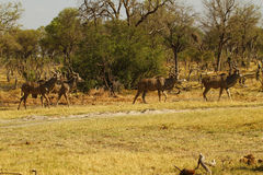 African Greater Kudu Herd Stock Photo