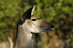 African Greater Kudu Royalty Free Stock Images
