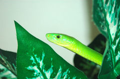 African Green Mamba snake Stock Photo