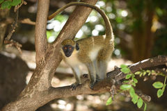 African Green Monkey. Location: St. Kitts Eastern Caribbean stock image