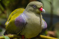 African Green Pigeon Bird Stock Photos