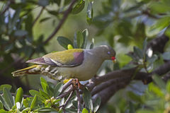 African Green Pigeon perched in tree. African Green Pigeon; Treron calvus royalty free stock photo