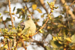 African Green-Pigeon Royalty Free Stock Photography