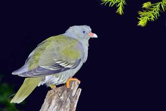 African Green Pigeon (Treron calva) Stock Photography