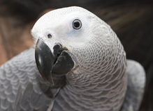 African grey Royalty Free Stock Photos