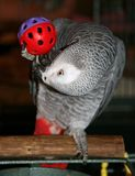 African Grey. Parrot playing with his toy Royalty Free Stock Photo