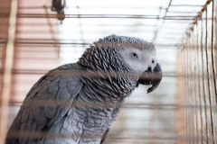 An African Grey cage Yaco Psittacus erithacus