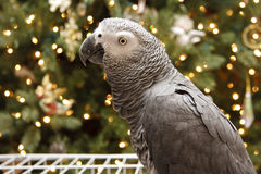 African Grey at Christmas Royalty Free Stock Photos