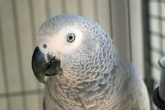 African grey Congo parrot royalty free stock images