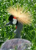 African Grey Crowned Crane Royalty Free Stock Photography