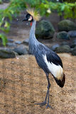 African Grey Crowned Crane in nature surrounding Stock Photography