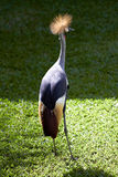 African Grey Crowned Crane in nature surrounding Royalty Free Stock Image