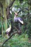 African  grey crowned crane and yellow stork Royalty Free Stock Image