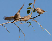 African Grey Flycatcher´s take off Stock Photos
