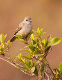African Grey Flycatcher. An African Grey Flycatcher (Bradornis microrhynchus) resting on a branch at the Shimba Hills nature reserve in kenya royalty free stock photography
