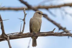 African grey flycatcher. Masai Mara. African grey flycatcher. Masai Mara, Kenya Stock Image