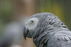 African Grey Head Portrait Stock Photos