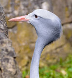 African Grey Heron Head in wildlife Royalty Free Stock Image