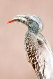 African grey hornbill Stock Photo