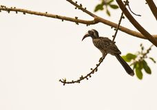The African Grey Hornbill Stock Image