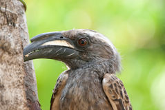 African grey hornbill. Adult male pecking at branch Royalty Free Stock Photo