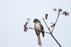 African Grey Hornbill Stock Image