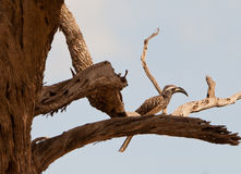 African Grey Hornbill on a dead tree Stock Images