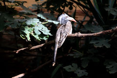 African grey hornbill. Exotic bird in a zoo Royalty Free Stock Image