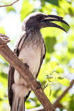African Grey Hornbill - Okavango Delta - Moremi N.P. Stock Photos