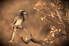 African Grey Hornbill Royalty Free Stock Image