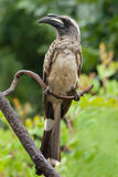 African grey hornbill tockus leucomelas. African grey horn-bill adult male royalty free stock images