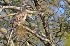 African grey hornbill (Tockus nasutus) Royalty Free Stock Image