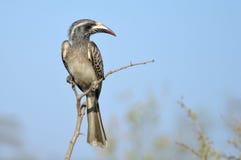 African grey hornbill (Tockus nasutus) Royalty Free Stock Photo