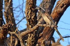 African grey hornbill (Tockus nasutus) Royalty Free Stock Photography