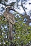 African Grey hornbill (Tockus nasutus) Royalty Free Stock Photos