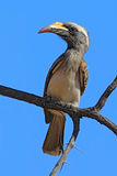 African Grey Hornbill, Tockus nasutus, portrait of grey and black bird with big yellow bill, sitting on the branch wit blue sky. Botswana, Africa stock photos