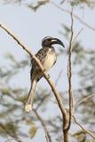 African-grey hornbill, Tockus nasutus Royalty Free Stock Image