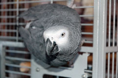 African grey parrot. Posing from her cage royalty free stock photography