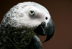 African Grey parrot. Close-up on an African Grey Stock Images