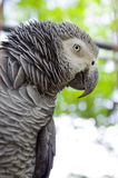 African Grey Parrot. With tree in background Stock Images