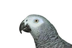 African Grey Parrot. The head of African Grey Parrot Royalty Free Stock Photo