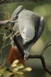African grey parrot Stock Photos