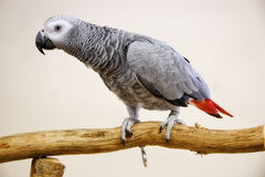 African Grey Parrot. Young African Grey Parrot Sitting on a Tree Perch Royalty Free Stock Photography