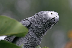 African Grey Parrot. Psittacus erithacus Royalty Free Stock Photography