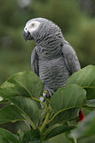 African Grey Parrot. Wild African Grey Parrot Psittacus erithacus Royalty Free Stock Photos