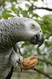 African grey parrot. (Psittacus erithacus) eating the nut Royalty Free Stock Photography