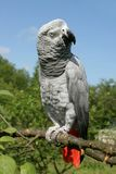 African grey parrot. (Psittacus erithacus) sitting on a tree Royalty Free Stock Photo